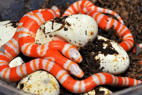 Snake Disrupts NYSC Passing-Out Parade In Zamfara