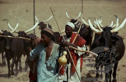 Bandits Behead Over 100 Cows in Adamawa