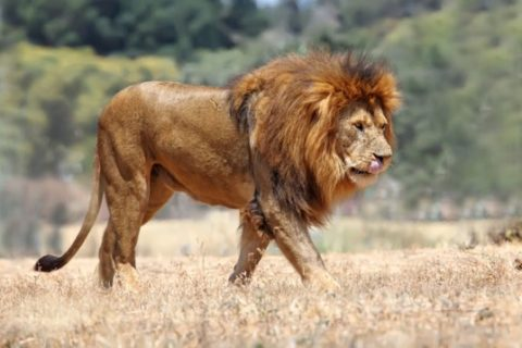 Danger! Lion Escapes From Owerri Zoo