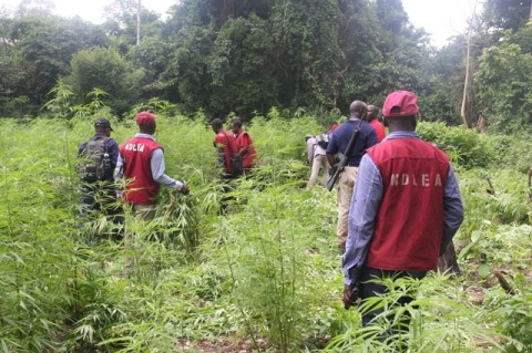 Cannibis Cultivation: A Threat To Security – NDLEA