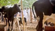 President Buhari at his cow farm with his 150cows... a Fulani Herdsman.
