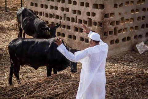 Still On Presidential Cows: Unmasking The Irony – By Micheal Joseph Okon