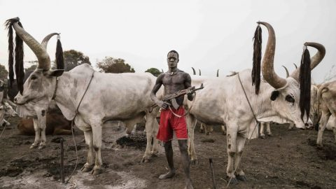 Nigeria: A Funny Country Where The Life Of A Cow Is More Precious Than That Of A Human Being (Part 2) – By Chief Mike Ozekhome