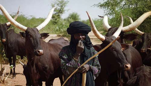 Cattle Dealers Lament Over The Use Of Cutlasses/Dangerous Weapons By Tax Collectors In Nasarawa State