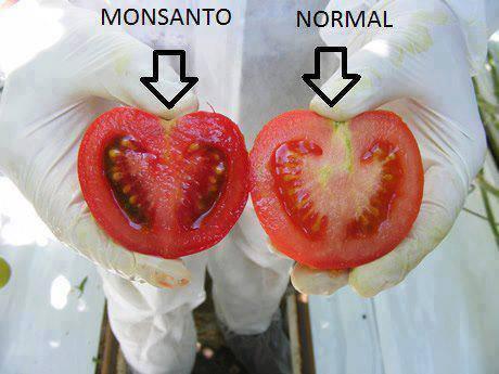 GMO tomato vs real tomato