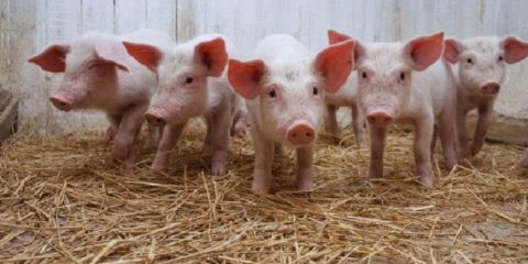 Demand For Piggery Colonies