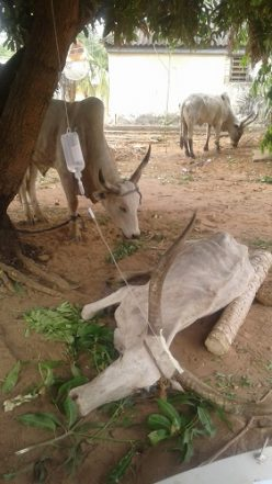 Benue Govt Impounds 106 Cows