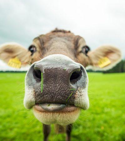 Kaduna Govt. immunises 215,000 cows against contagious lung infection